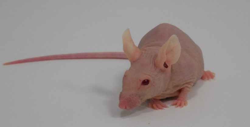 SCID Hairless Outbred SHO-PrkdcscidHrhr